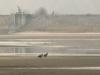 Дорослий і молодий орлани-білохвости