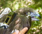 Nic, the first satellite tracked eagle in Italy, with a Microwave Telemetry 45-gram solar GPS PTT-100 transmitter that was affixed to the back using a tubular Teflon ribbon harness - photo by Ugo Mellone