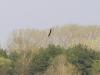The Pallas's Fish Eagle. Maximal resolution