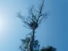 Нетипичное жилое гнездо орланов на сухой сосне, 2012 (М. Гаврилюк)