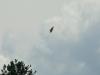 Самка большого подорлика только передала полевку птенцу