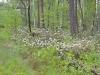 …а в лесах массово цвел багульник