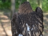 Гибридный птенец (окрас затылочной части головы характерен для малого подорлика)