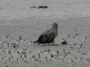 Adult White-tailed Eagle on a drained pond (N.Borisenko)
