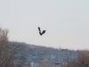 Молоді орлани під час повітряних ігор біля м. Вишгород (околиці Києва)