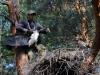 Кольцевание птенцов чёрного аиста (на фото Михаил Франчук)