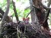 Молодняк лесной куницы вывелись в старом гнезде хищной птицы