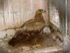 Орел степовий у Харківському зоопарку. 2016 р. Фото С.Г. Вітера