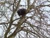 Гнездовье, установленное на осине, перспективно для гнездования соколков