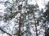 В сосновых участках леса с удовольствием гнездятся ушастая сова и чеглок