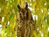 Ушастая сова на иве плакучей (г. Нежин, Черниговская обл.) Фото: Ю.В. Кузьменко