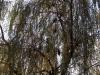 Группа ушастых сов на иве плакучей (г. Нежин, Черниговская обл.) Фото: Ю.В. Кузьменко