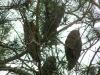 Зимующие ушастые совы на сосне (с. Ленское, Симферопольский р-н, Крым, январь 2008 г.) Фото: В. Н. Кучеренко