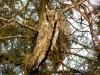 Зимующие ушастые совы на туе (Джанкойский р-н Крым, январь 2008 г.) Фото: В. Н. Кучеренко
