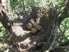 Кладка кобчика в старом гнезде сороки