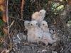 Пять пуховиков в гнезде об. пустельги