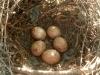В этом гнезде об. пустельги еще кладка