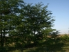 Гнездо балобана на дереве (справа) и сороки