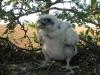 Птенец балобана в гнезде