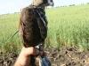 Птенец по имени «Счастливчик» с передатчиком