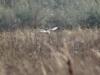 Самец степного луня на миграции, фото 1
