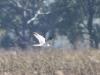 Самец степного луня на миграции, фото 2