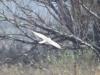 Самец степного луня на миграции, фото 3