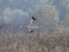 Самец степного луня на миграции, фото 7
