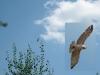 Август 2013 (Киевская обл.): после отдыха на присаде змееяд кружит над гнездовым участком перед отлетом на охоту (фото Письменного А.)
