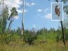 Август 2013 (Киевская обл.): эта же сосна с противоположной стороны, общий вид на гнездовой участок с края зарастающей вырубки (фото Письменного А.)