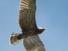 Сентябрь 2013 (Киевская обл.): молодой змееяд в ювенильном наряде оттачивает свое летное мастерство над гнездовым участком; край маховых повторяет линию изгиба крыльев, поэтому они выглядят более узкими по сравнению со взрослыми птицами