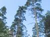 Июль 2007: высота расположения этого гнезда змееяда, найденного в городской черте Киева - около 33 м