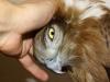 Октябрь 2008: при длительном вынужденном тесном контакте с человеком молодой змееяд стал вполне ручным