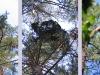 Июль 2005, 2006 (Киевская, Черниговская обл.): все гнезда змееядов размещены у вершин старых сосен, дважды они гнездились в ''ведьминой метле''