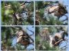Июль 2011 (Киевская обл.): самец передает птенцу отловленную ящерицу