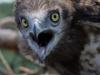 Июль 2008 (Черниговская обл.): птенец змееяда в возрасте около 5 недель угрожает шипением непрошеному визитеру