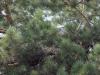 Август 2009 (Киевская обл.): слеток змееяда притаился в ветвях рядом с гнездом; хвоя покрыта характерными комочками белого пуха