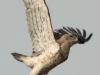 Август 2010 (Киевская обл.): взлет самца змееяда с любимой охотничьей присады - опоры высоковольтной ЛЭП