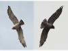 Июль 2011 (Черниговская обл.): тот же самец (слева) и самка - птицы этой пары хорошо различимы благодаря множеству индивидуальных черт; самка в начале месяца проводит много времени на гнезде, что отражается на состоянии перьев