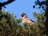 Июль 2011 (Сумская обл.): самка змееяда на гнезде с птенцом после передачи добычи