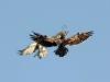Июнь 2012 (Черниговская обл.): самец змееяда этой же пары (справа) атакует другого змееяда, вторгшегося на гнездовой участок