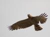 Август 2008 (Киевская обл.): старая самка змееяда в полете