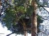 Гнездо было устроено в \'\'ведьминой метле\'\' на сосне. Птенец почти полностью скрыт в нем. Фото А.Скитер, 02.08.14