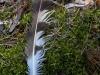 Линное рулевое перо найдено под присадой, высокой сосной в 200 м в прямой видимости от гнезда. Фото А.Скитер, 06.07.14