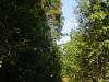 \'\'Ведьмина метла\'\' с гнездом змееяда расположена над лесной дорогой. В один из визитов Артем Скитер обнаружил живую обыкновенную гадюку на этой дороге в 100 м от гнездового дерева. Фото А.Скитер, 02.08.14