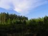 Вид на гнездовое дерево с земли из-под сосен-присад взрослых змееядов. Фото А.Скитер, 02.08.14