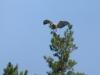 Змееяд усаживается на вершину сосны неподалеку от гнездового дерева. Фото К.Письменный, 09.09.14