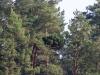Метла с гнездом по-прежнему используется взрослыми змееядами как удобная платформа для передачи добычи своему отпрыску. Фото В.Мороз, 09.09.14