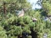 Взрослый самец змееяда поднял клювом принесенную змею, которую перед тем положил в гнездо. Молодая птица старается к нему приблизиться и опять не перестает издавать громкие крики. Фото А.Симон, 09.09.14