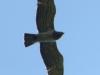 После очередного кормления слетка самец направляется на охоту. Фото К.Письменный, 09.09.14